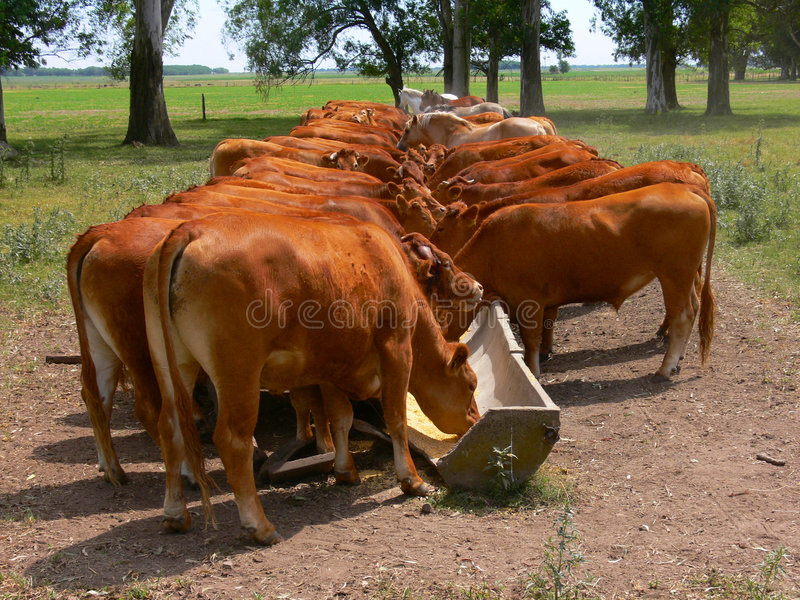 CATTLE EATING. AT A RANCH IN ARGENTINA royalty free stock photos