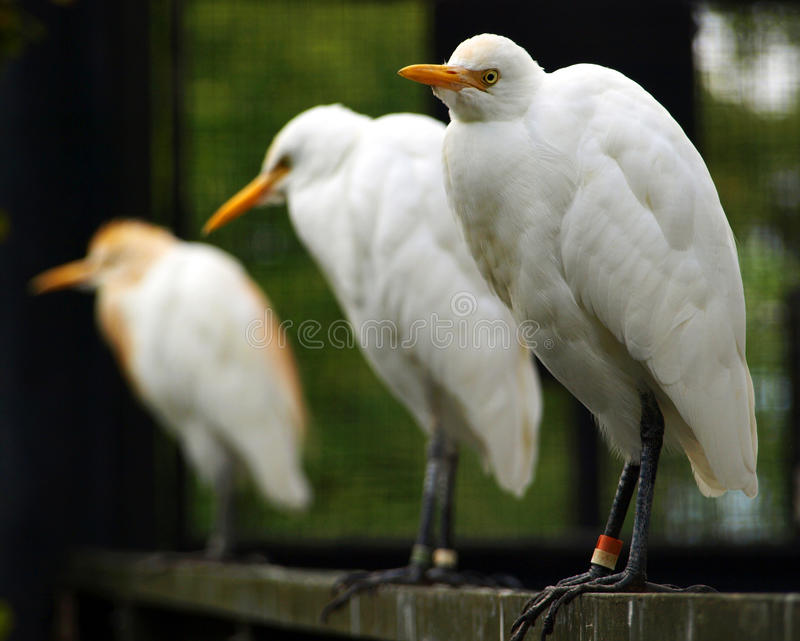 Download Cattle Egret Royalty Free Stock Photography - Image: 12214767