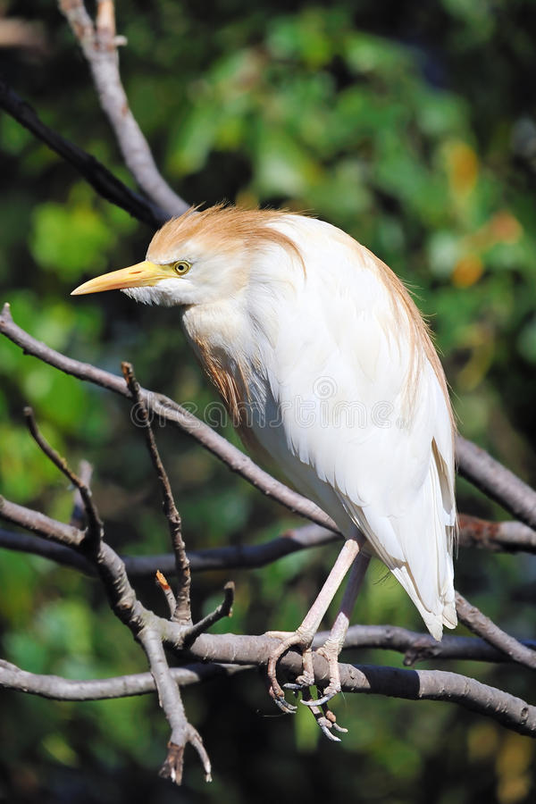 Download Cattle Egret stock image. Image of wildlife, cattle, shore - 16687979