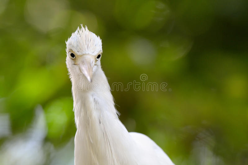 Download Cattle Egret stock photo. Image of colourful, white, cattle - 25387094