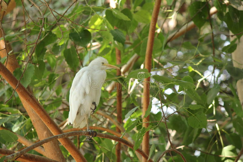 Download Cattle egret stock photo. Image of tree, stand, leafs - 27305302