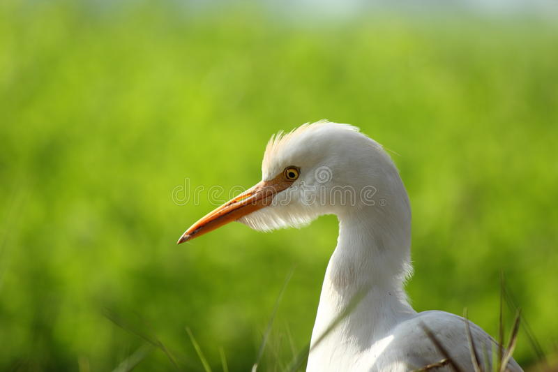 Download Cattle egret stock photo. Image of egypt, field, natural - 27309658