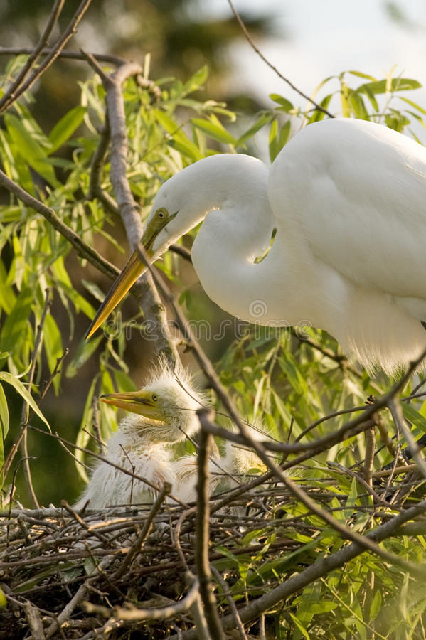 Cattle Egret bird with chick royalty free stock photo