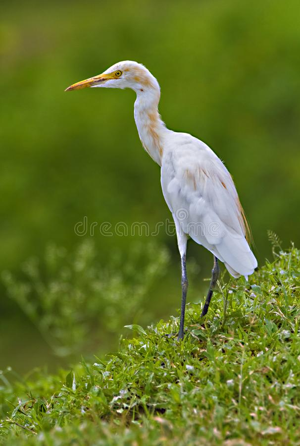 Cattle egret in breeding plumage in the outskirts of an Indian Forest. Cattle egret in breeding plumage in the forest outskirts  of Jim Corbett National Park stock images