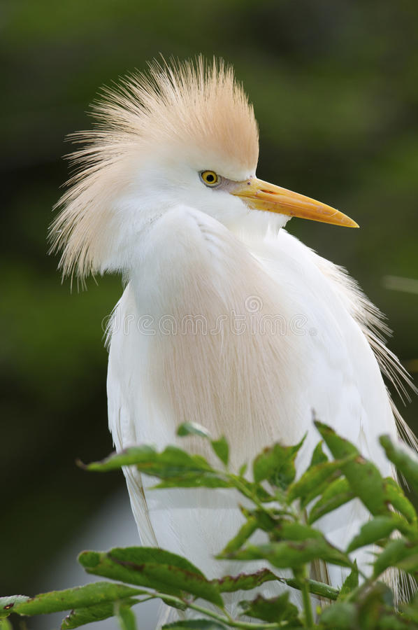 Download Cattle Egret, Bubulcus Ibis Stock Image - Image: 18433855