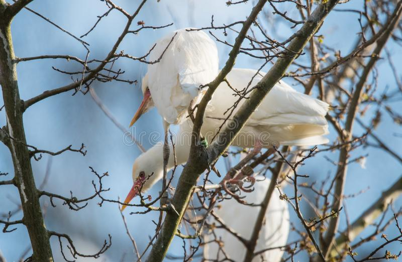 Cattle egret or Bubulcus ibis. The cattle egret is a cosmopolitan species of heron, family Ardeidae. It has a white body plumage with a yellow or orange beak royalty free stock photos