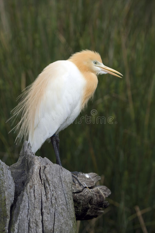 Cattle Egret (Bubulcus Ibis), Perth, Australia. Cattle Egret (Bubulcus Ibis). It has white and orange feathers & a long beak, Perth, Australia stock images