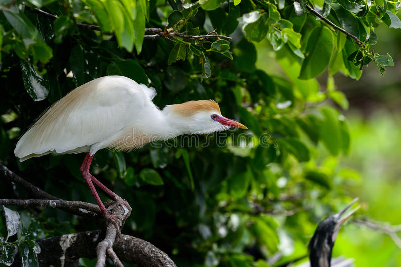 Cattle egret. Bubulcus ibis, cattle egret, wakodahatchee, florida stock images