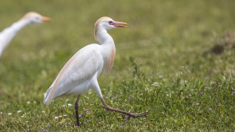 Cattle Egret Wandering in Meadow royalty free stock images
