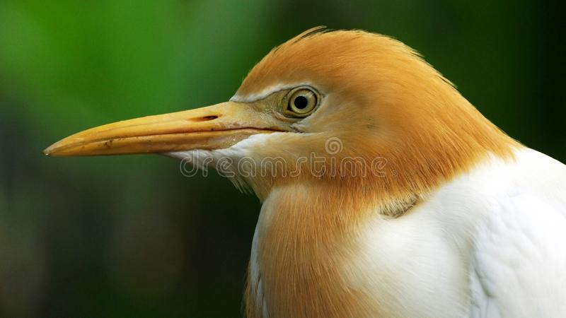 The cattle egret is a cosmopolitan species of heron found in the tropics royalty free stock photos