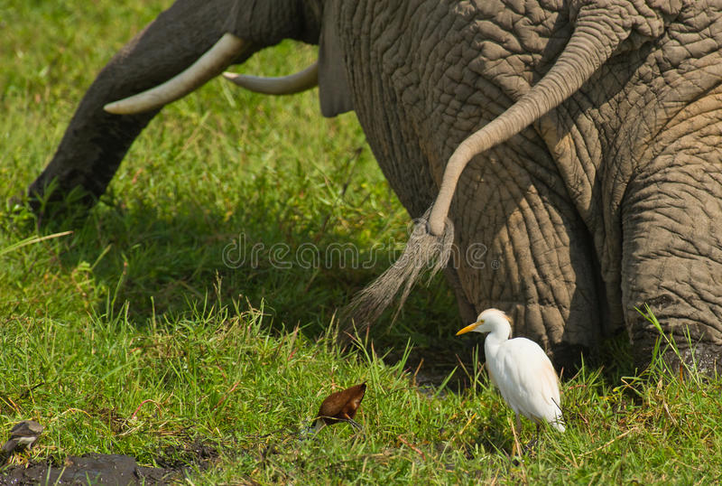 Cattle Egret and Elephant in collaboration