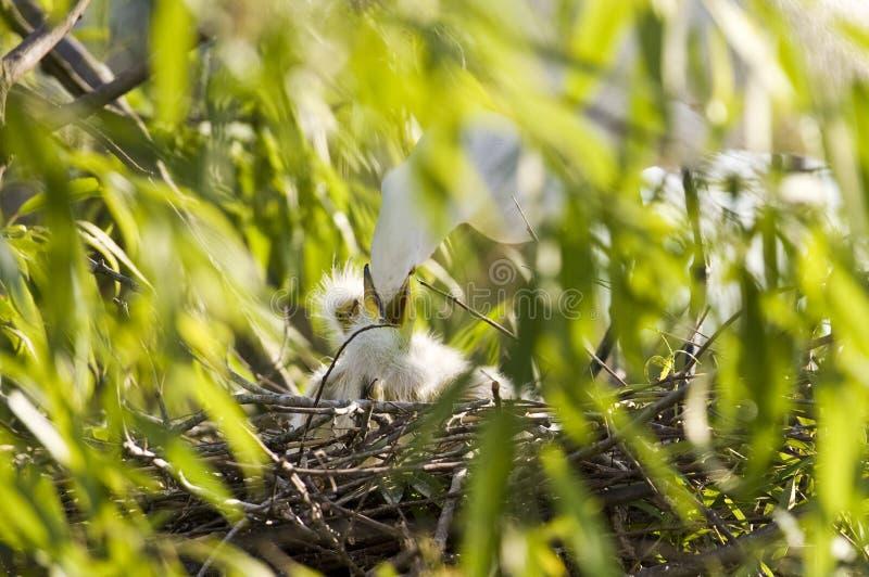 Cattle Egret feeding chicks royalty free stock images
