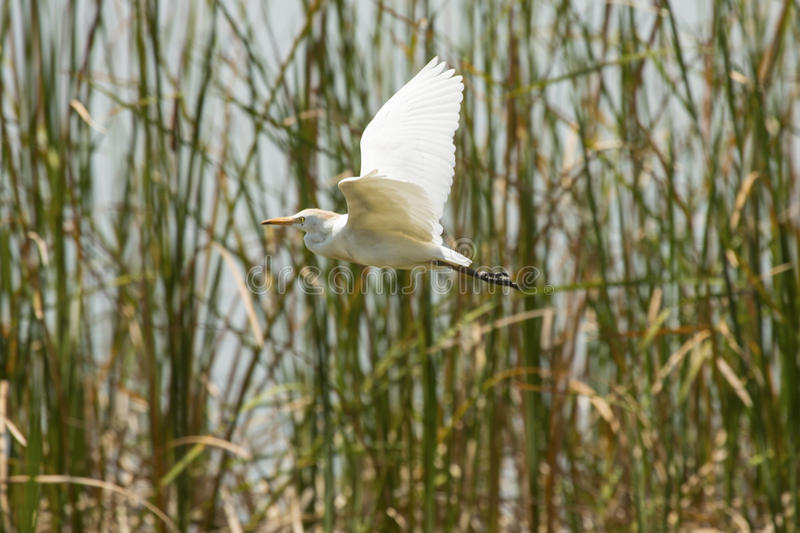 Cattle egret flying in a marsh at Magnolia Park, Florida. royalty free stock photography