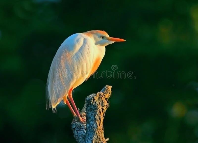Cattle egret in golden light stock photos