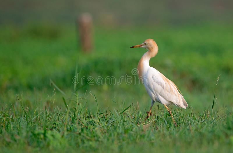 Cattle Egret in Greenery stock image