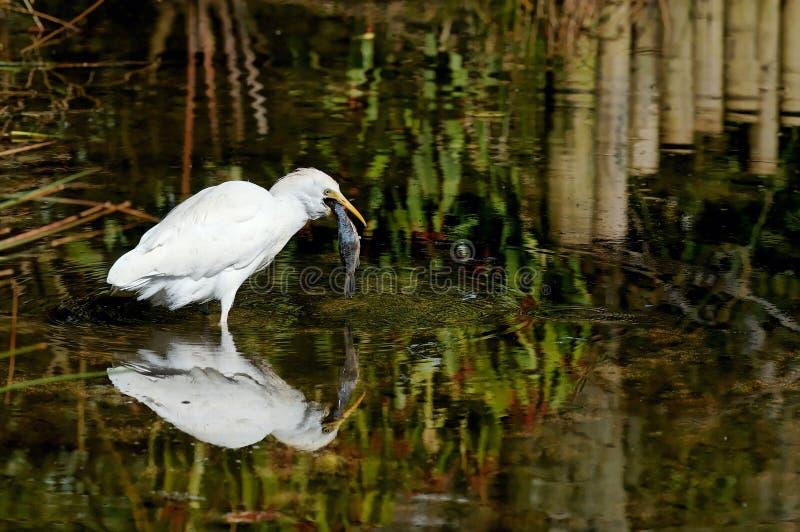 Cattle Egret (heron) royalty free stock photo