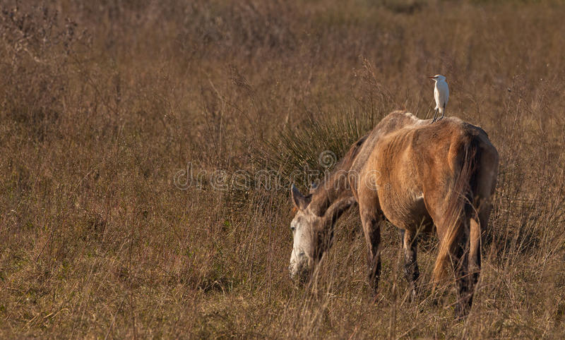 A Cattle Egret on a horse stock image
