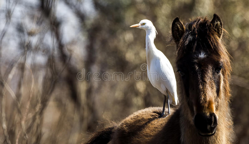 Cattle Egret on Horse stock images
