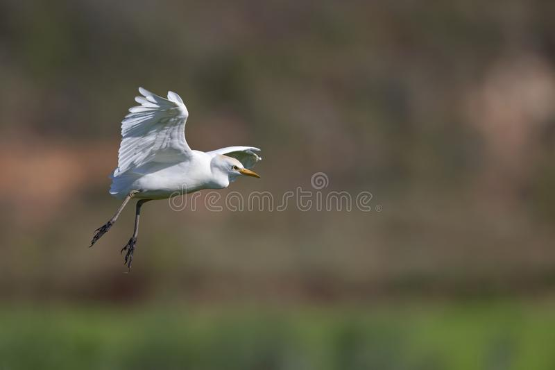 A cattle egret landing on one of the rice field in Portugal. stock photography