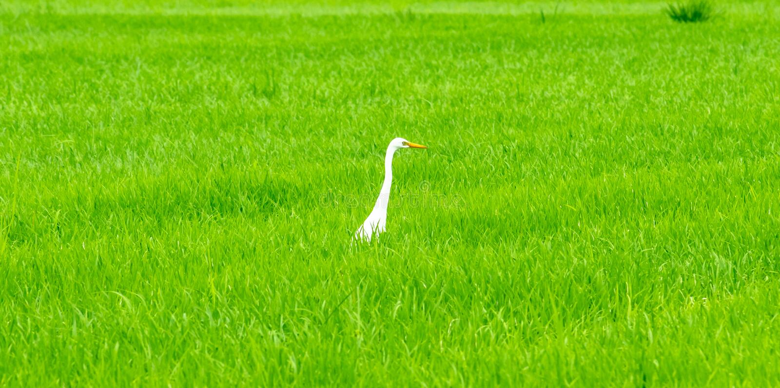 Cattle egret,local white bird walking around organic rice fields and looking for shell food in the countryside landscape. royalty free stock image
