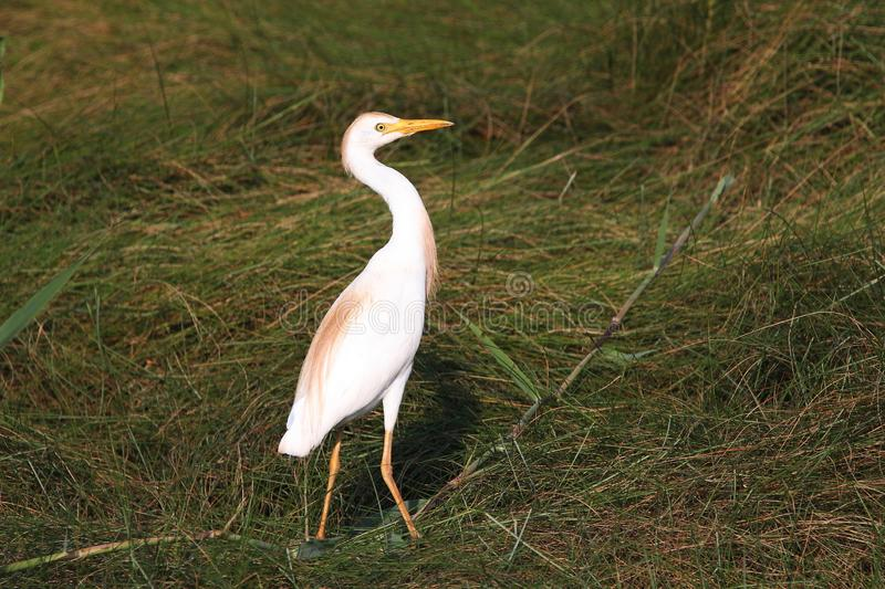 Cattle Egret in the Marsh royalty free stock photos