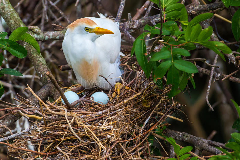 Cattle Egret On Nest. Adult Cattle Egret In Breeding Plumage On Nest With Two Eggs royalty free stock photos
