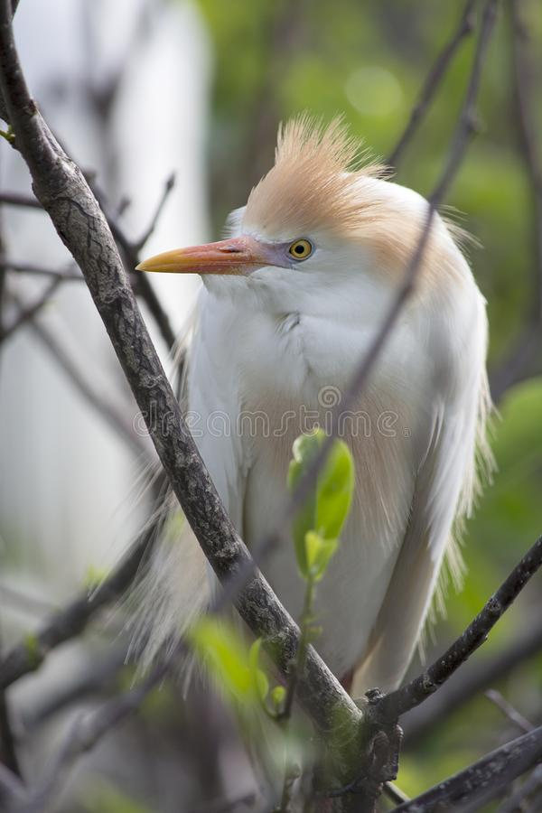 Cattle Egret Bubulcus ibis in Brreeding Plumage with Orange Topknot. This Cattle Egret with orange topknot feathers is perched in a tree with bare branches royalty free stock photos
