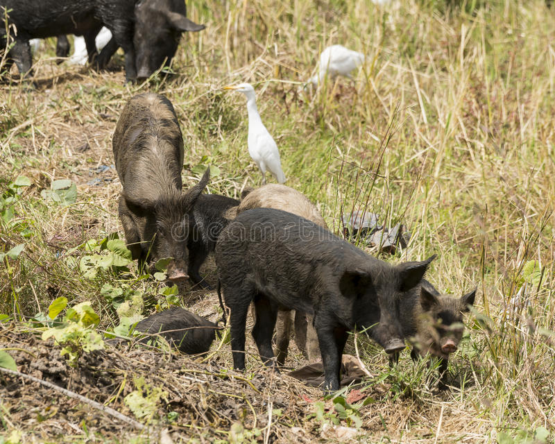 Cattle egret and pig royalty free stock photo