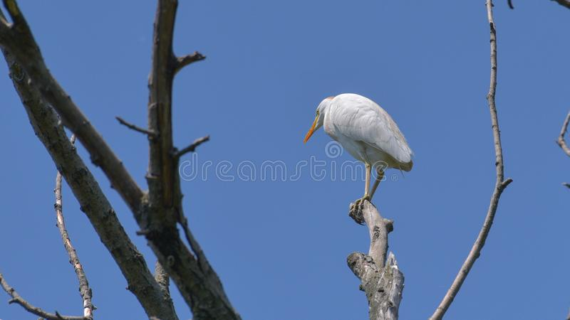 Cattle egret posed on the branch. Viewed from below, against the blue sky stock photo
