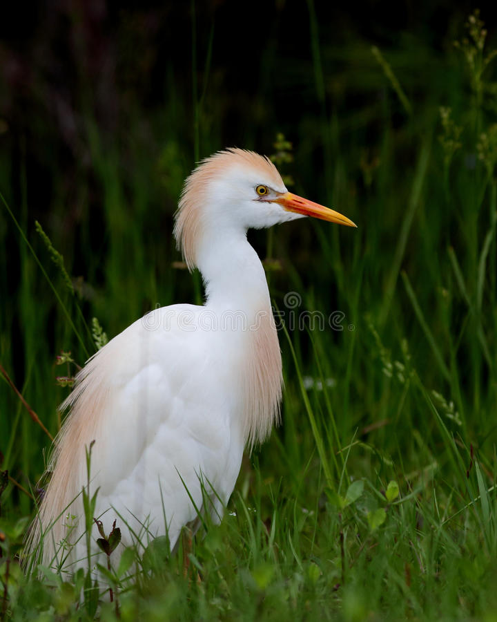 Cattle egret standing in long grass. One Cattle egret standing in long grass royalty free stock photography
