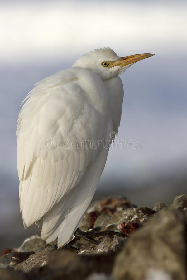 Cattle Egret in winter plumage which sits on rockh Antarctic isl. Cattle Egret in winter plumage which sits on Antarctic islands stock images