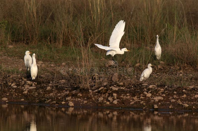 Cattle egrets. Beautiful shot of cattle egrets in morning light stock photos