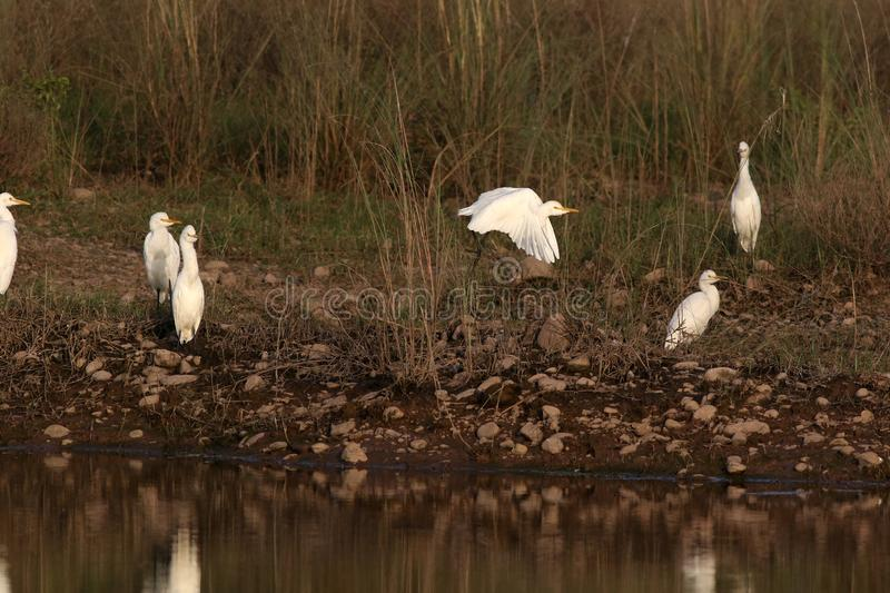 Cattle egrets. Beautiful shot of cattle egrets in morning light royalty free stock images