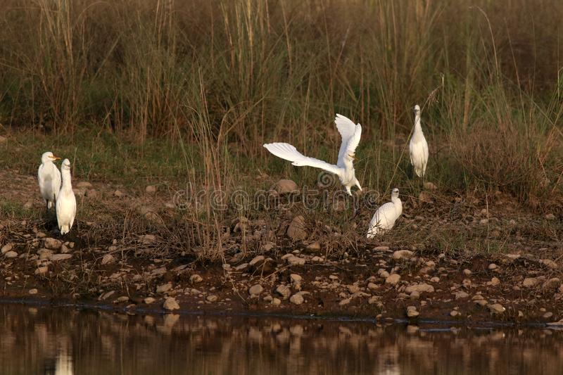 Cattle egrets. Beautiful shot of cattle egrets in morning light stock photography