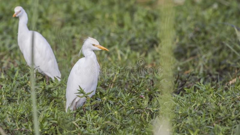 Cattle Egrets in Meadow. Cattle egrets, Bubulcus ibis, are wandering in meadow in Ethiopia, Africa royalty free stock photos