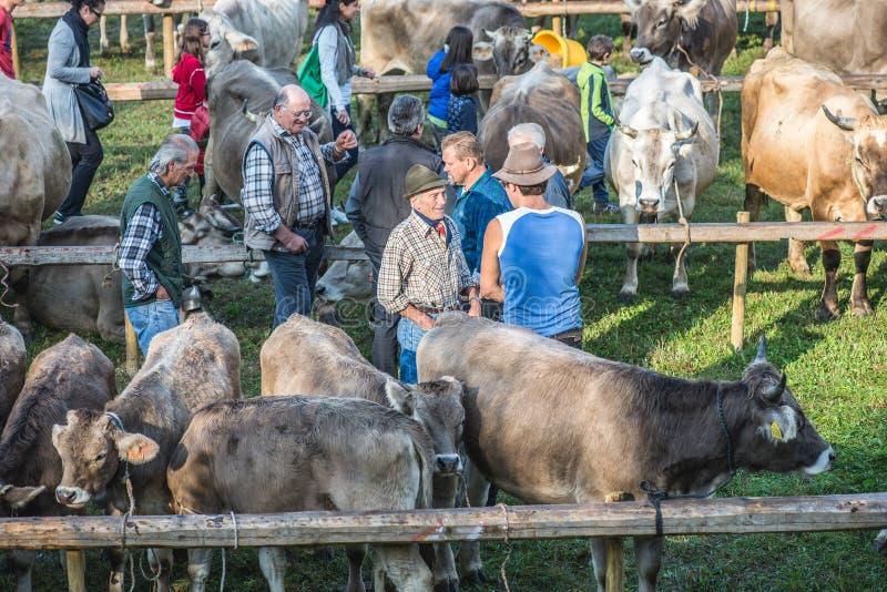 Cattle exhibition and contest at Brembana Valley, Serina,Bergamo,Lombardia Italy. Breeders. SERINA,ITALY - SEPTEMBER 21,2016:cattle exhibition and contest at stock photography