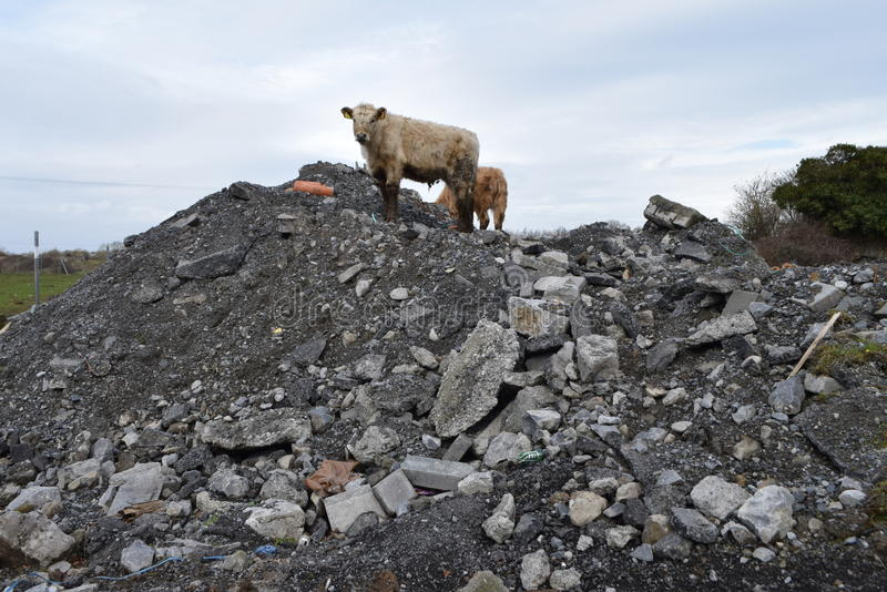 Cattle exploring local dump yard stock photos