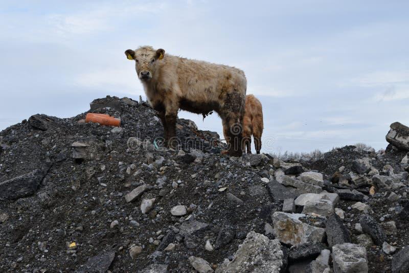 Cattle exploring local dump yard - closeup stock image