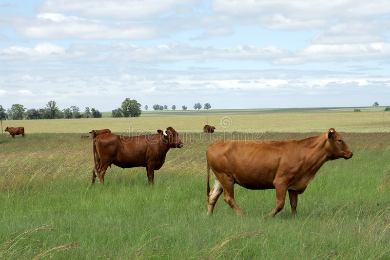 Download Cattle Farm stock image. Image of outdoors, cattle, blue - 4295581