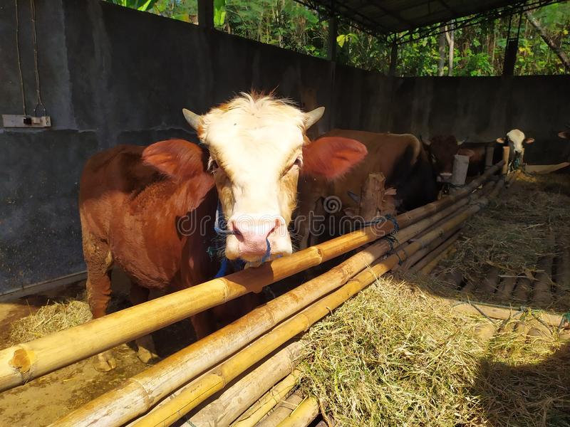Cattle on the farm are ready to be slaughtered for Eid al-Adha. Celebration, mubarak, eid, muslim, festival, islam, arabic, adha, islamic, , illustration, goat royalty free stock photos