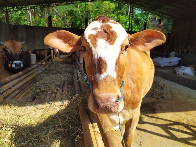 Cattle on the farm are ready to be slaughtered for Eid al-Adha. Celebration, mubarak, eid, muslim, festival, islam, arabic, adha, islamic, , illustration, goat stock photography