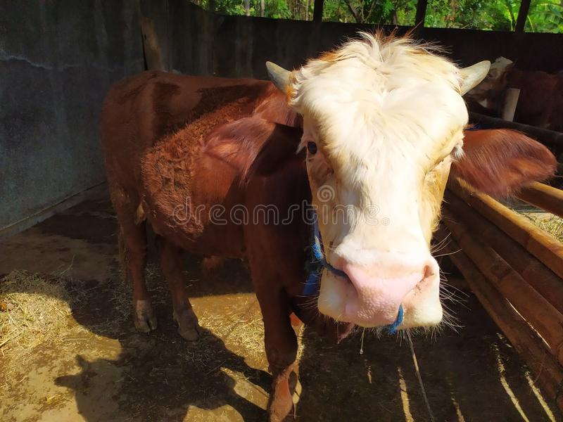 Cattle on the farm are ready to be slaughtered for Eid al-Adha. Celebration, mubarak, eid, muslim, festival, islam, arabic, adha, islamic, , illustration, goat stock image