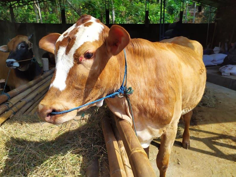 Cattle on the farm are ready to be slaughtered for Eid al-Adha. Celebration, mubarak, eid, muslim, festival, islam, arabic, adha, islamic, , illustration, goat stock photo
