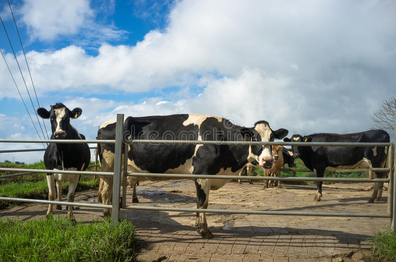 Cattle farm royalty free stock image
