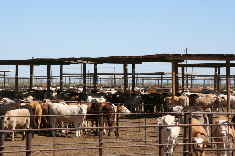 Cattle feedlot stock photography