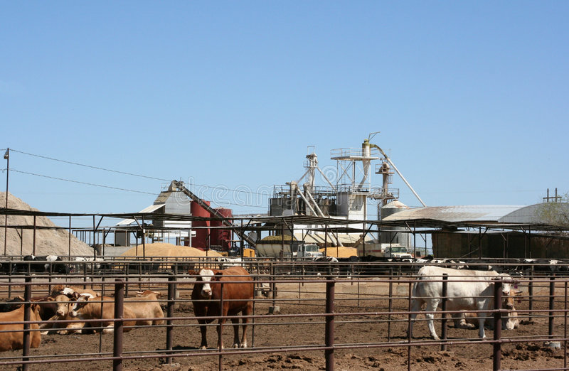 Cattle feedlot. Cattle being raised in a feedlot royalty free stock images