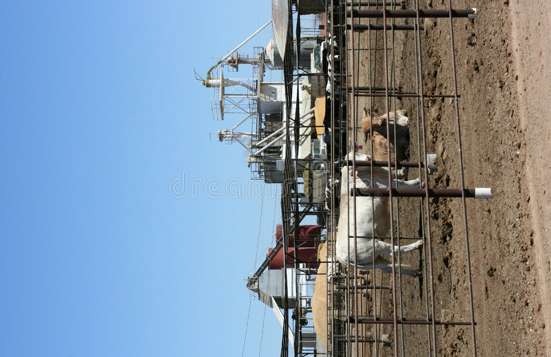 Cattle feedlot. Cattle being raised in a feedlot royalty free stock photography