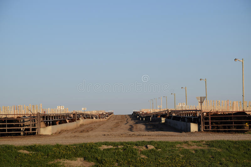 Cattle feedlot on farm. Cattle in feedlots surrounded by fences on farm against blue skies on sunny day stock images
