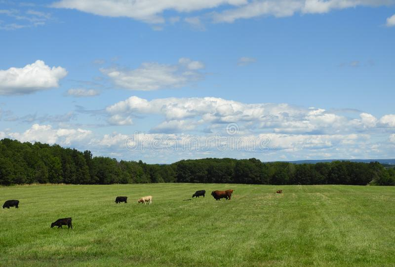 Beef cattle in FingerLakes field under blue sky stock photography