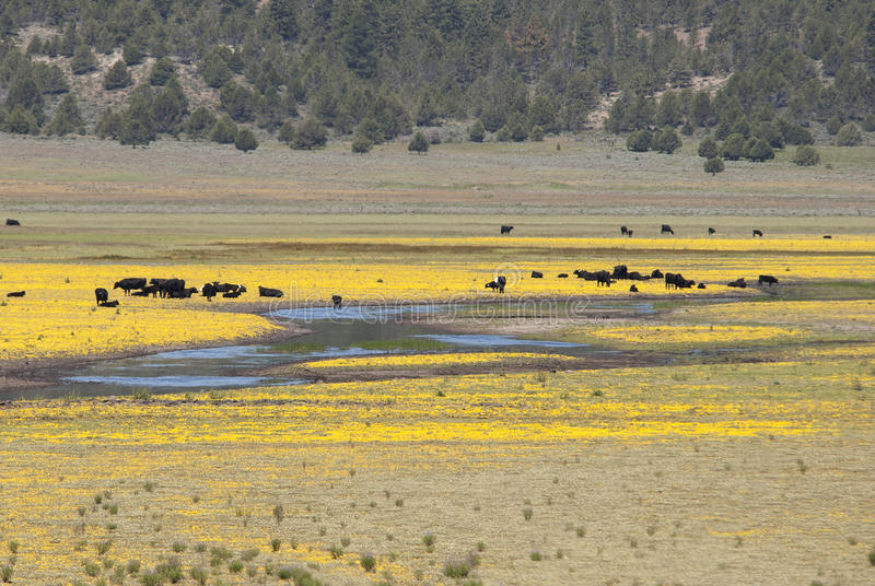 Cattle and Flowers. Cattle standing in the middle of a yellow flowered field along Hwy 140 near Klamath Falls Oregon royalty free stock photo
